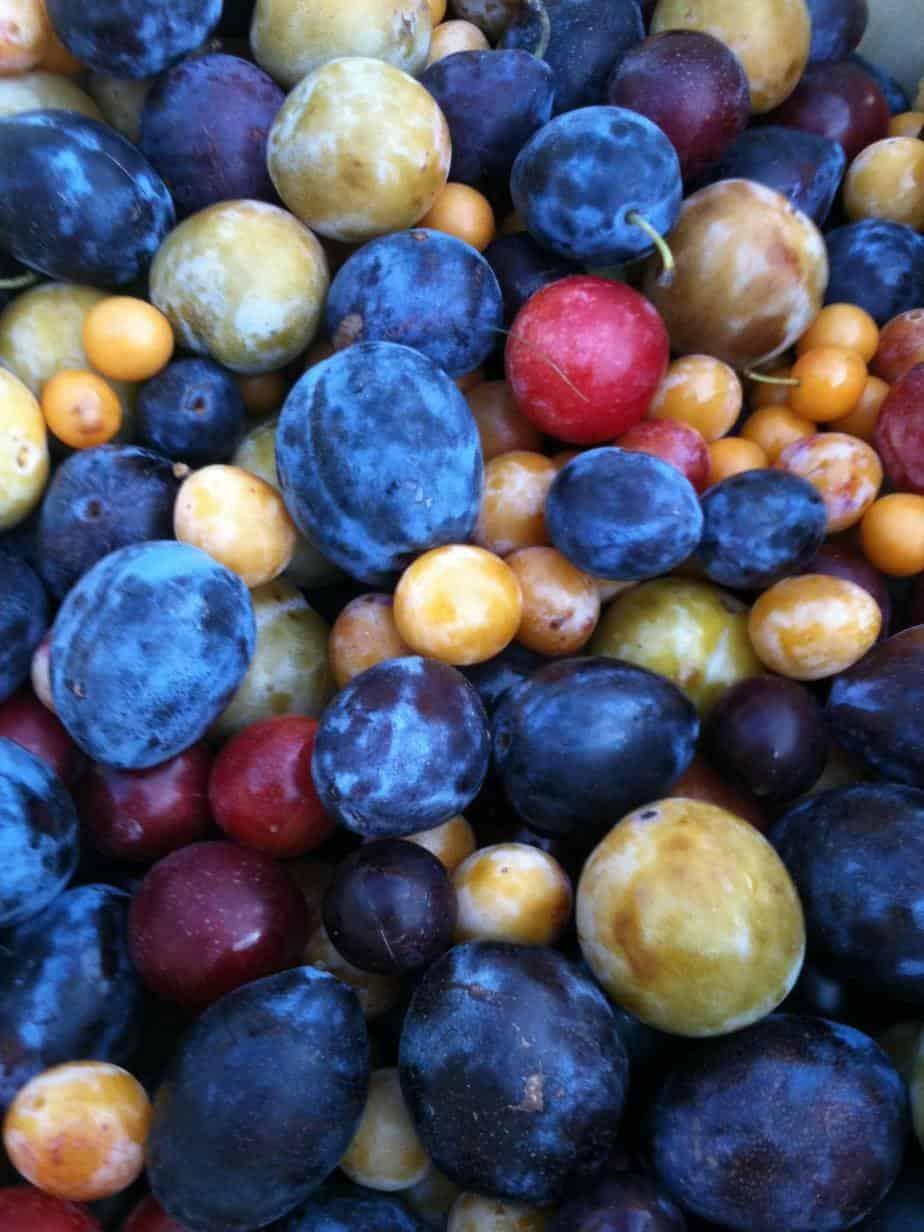 greffe prunier