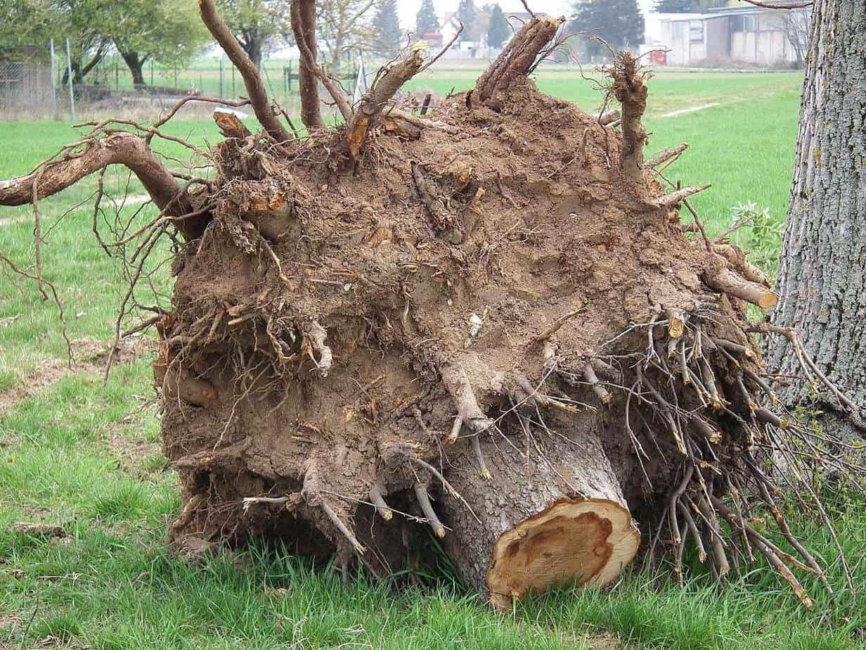 dessoucher arbre
