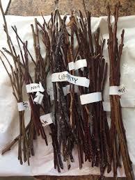préparation greffon rameau arbre