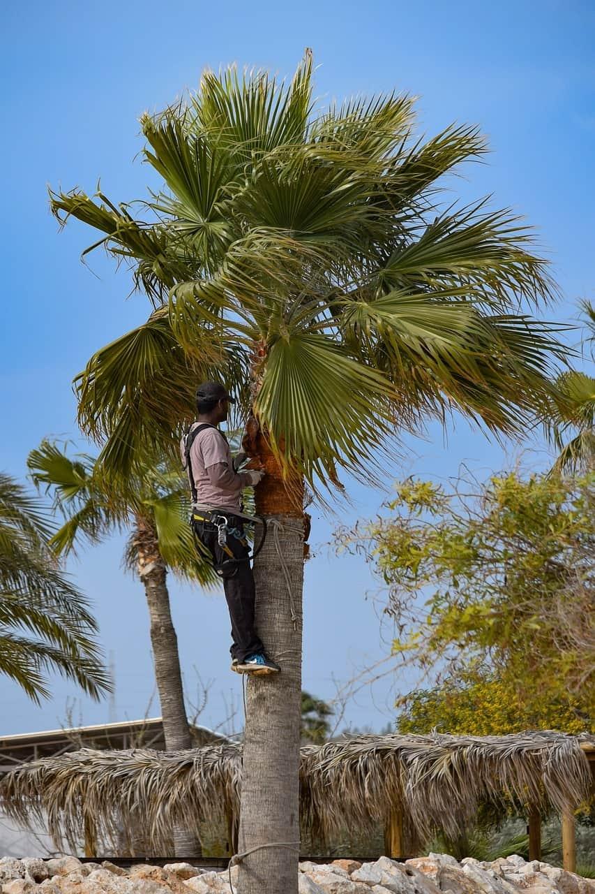élagage de palmier