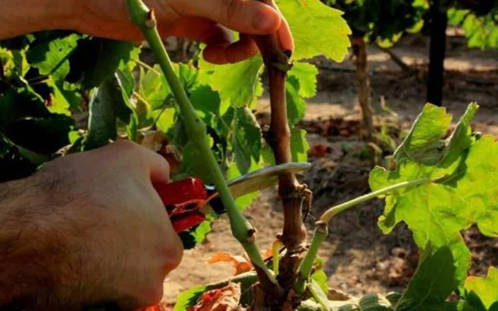 recepage de vigne