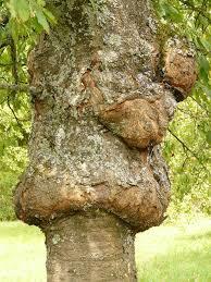 necrose arbre