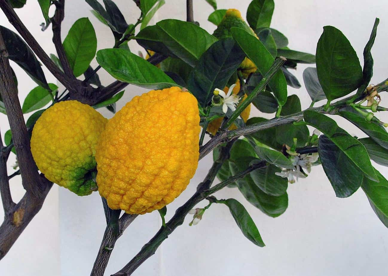 arbre citron cedrat