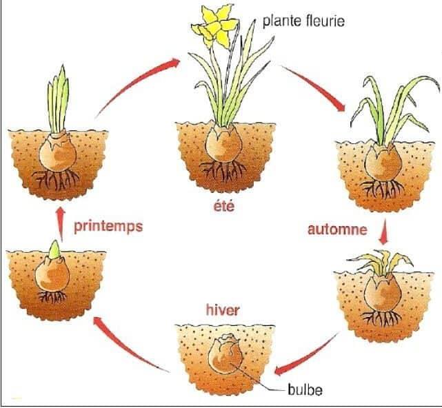 definition plantes vivaces