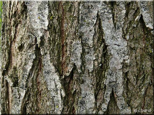 ecorce acacia