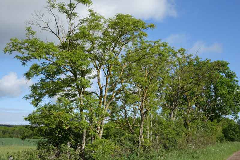 faux acacia