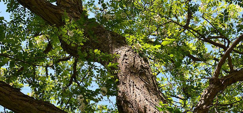 taille acacia