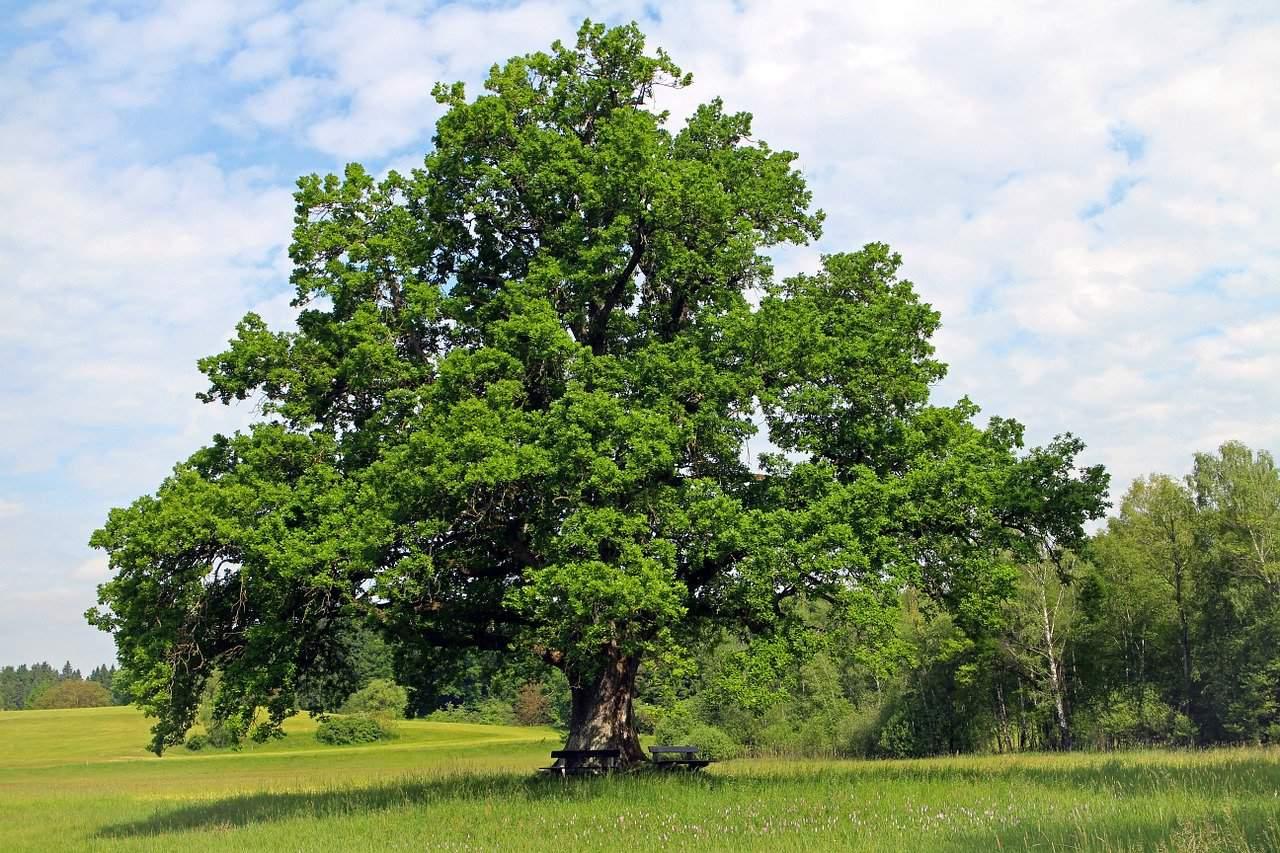 tailler chêne centenaire
