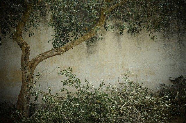 tailler olivier
