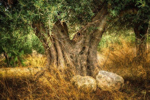 espèces d'olivier