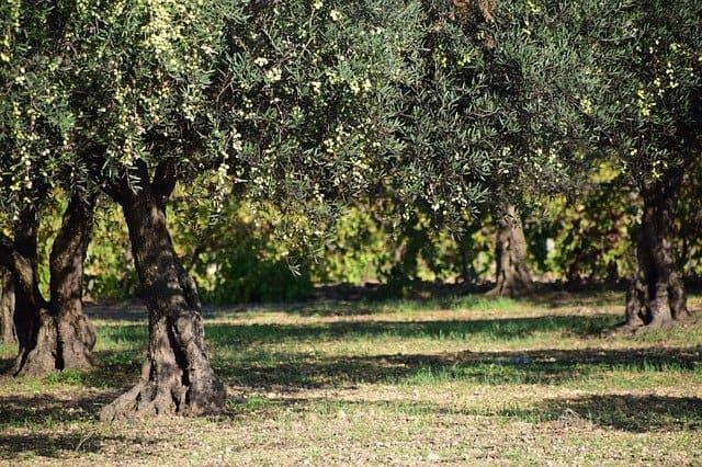 manger olive