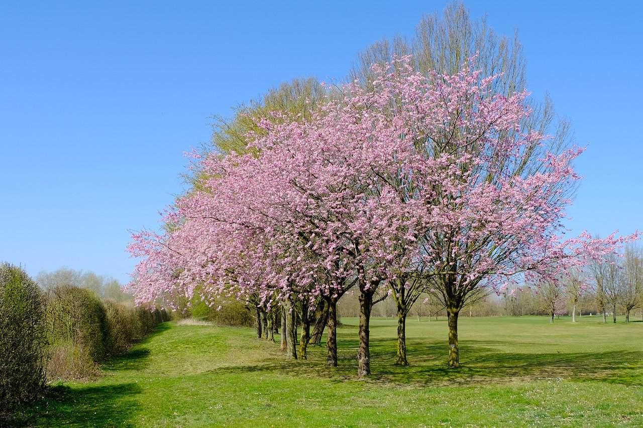 cerisier verger