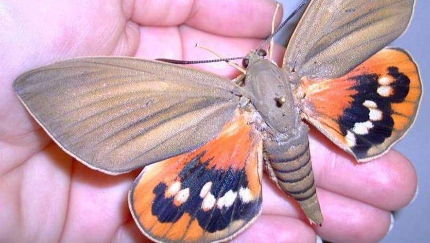 papillon du palmier