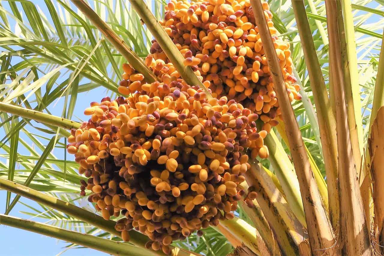palmier à dattes