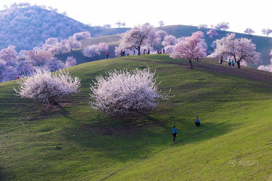 floraison abricotier