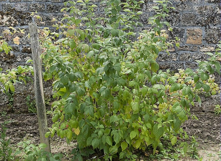 arbuste framboisier