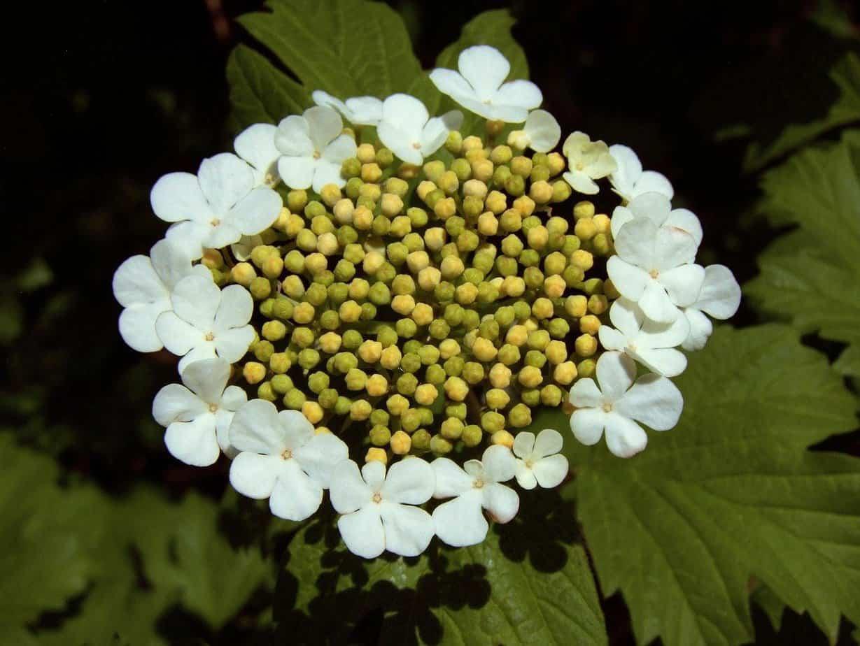 ombrelle hortensia