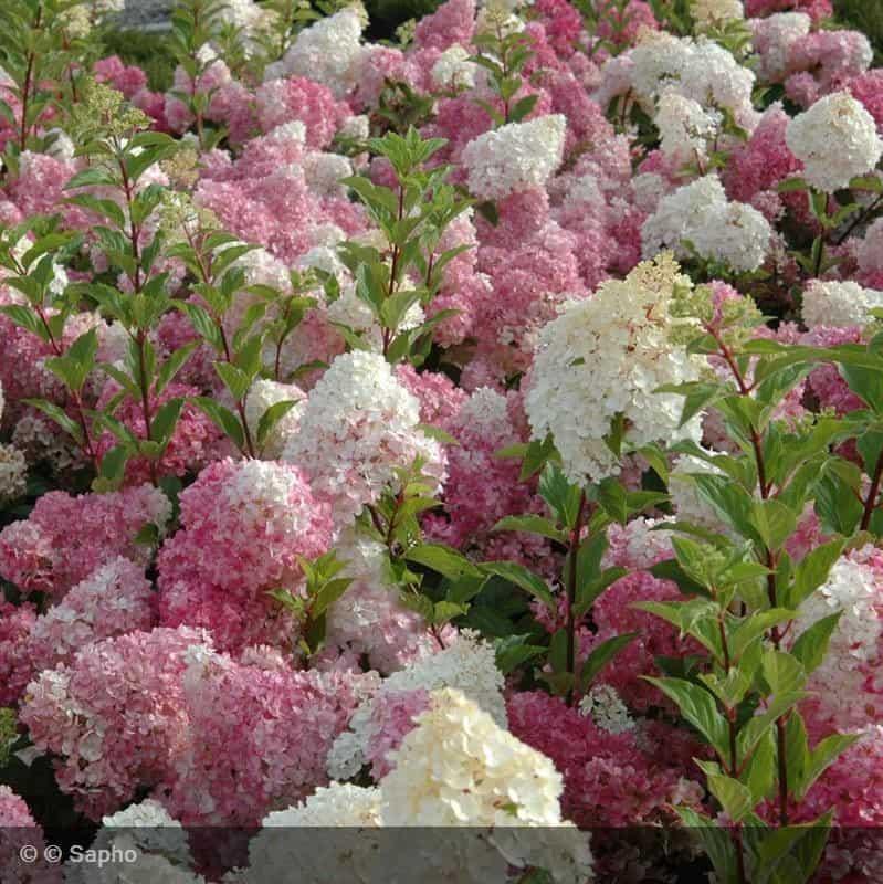 hortensia vanille fraise