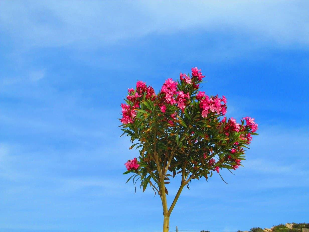 laurier rose tige