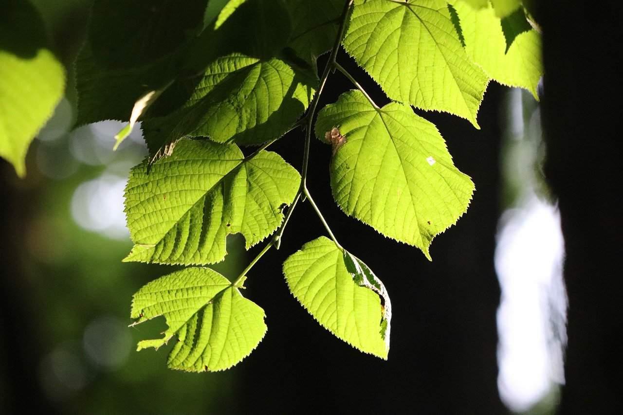 feuilles de peuplier commun