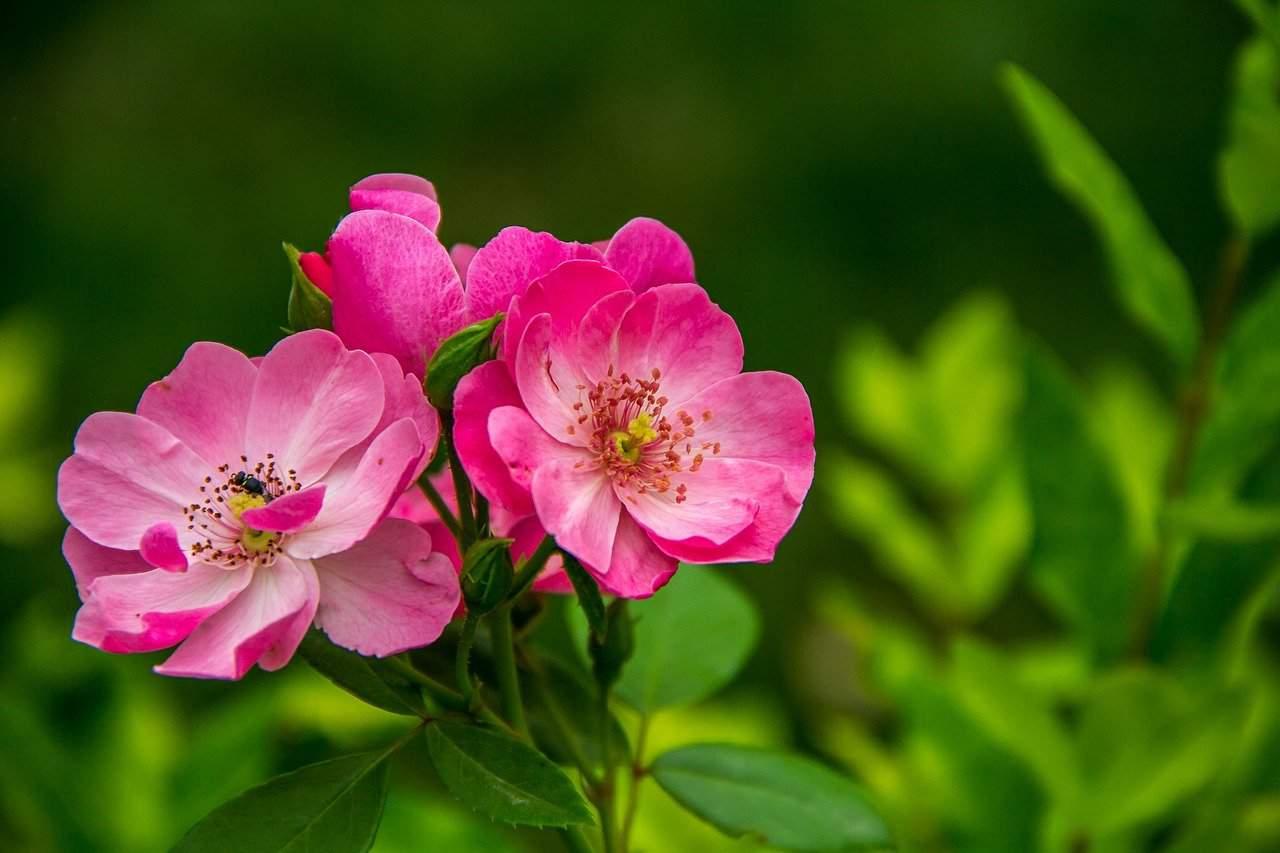 rosier sauvage