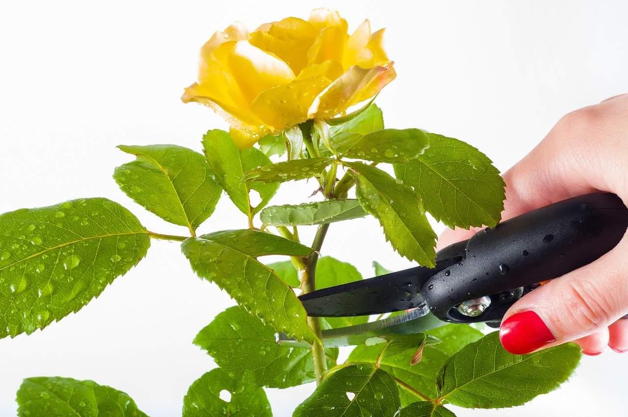 tailler un rosier