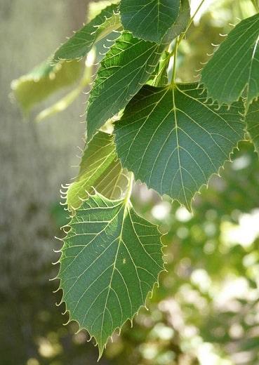 tilleul feuilles dentelées