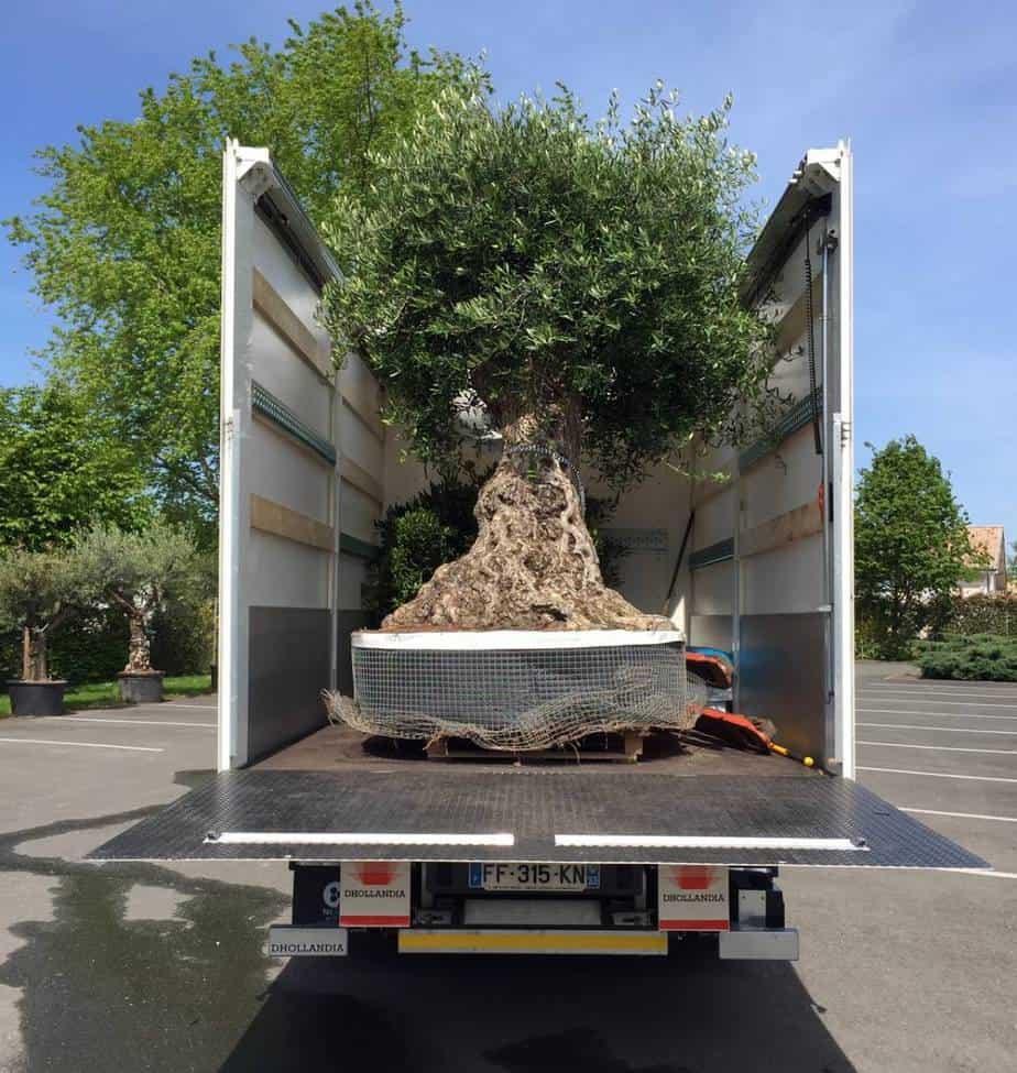 acheter arbre adulte