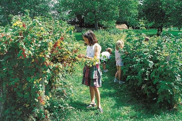 groseillier jardin