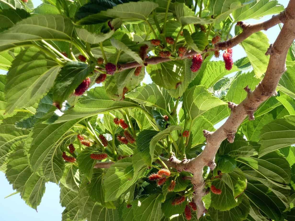 fruit du murier platane