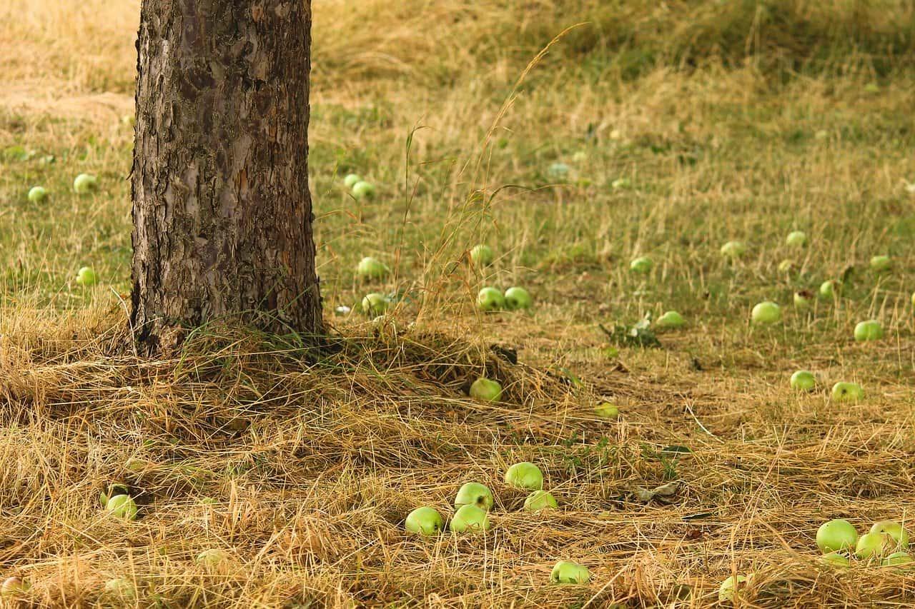 cultiver pommier