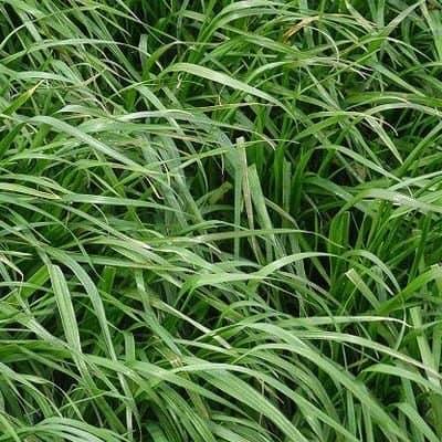 gazon ray grass hybride