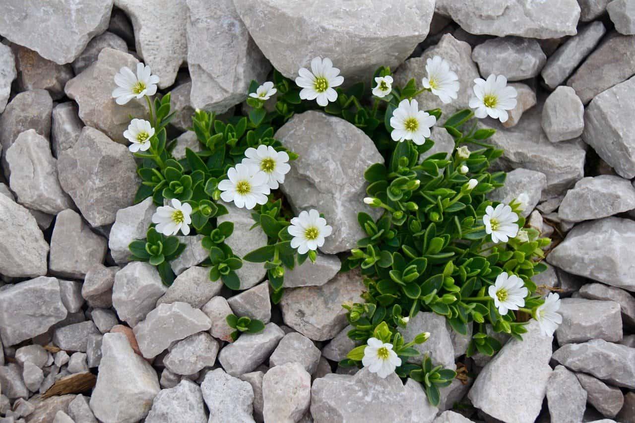 exemples de plantes de rocaille