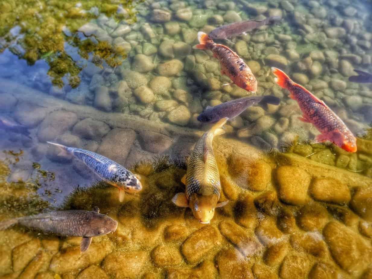 poisson jardin japonais