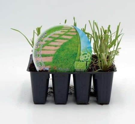 planter du kikuyu