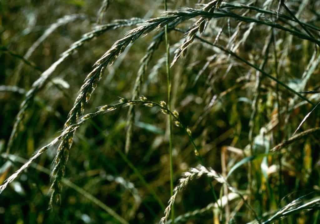ray grass d'italie