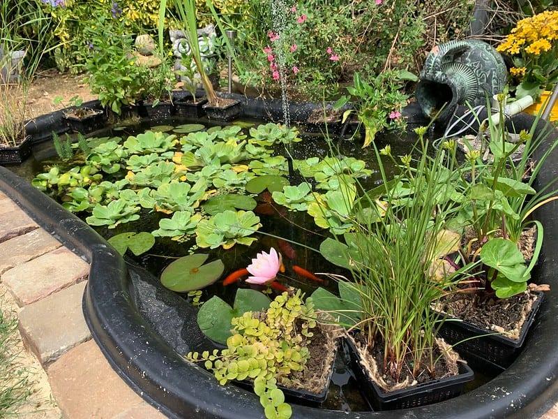bassin avec carpe koï